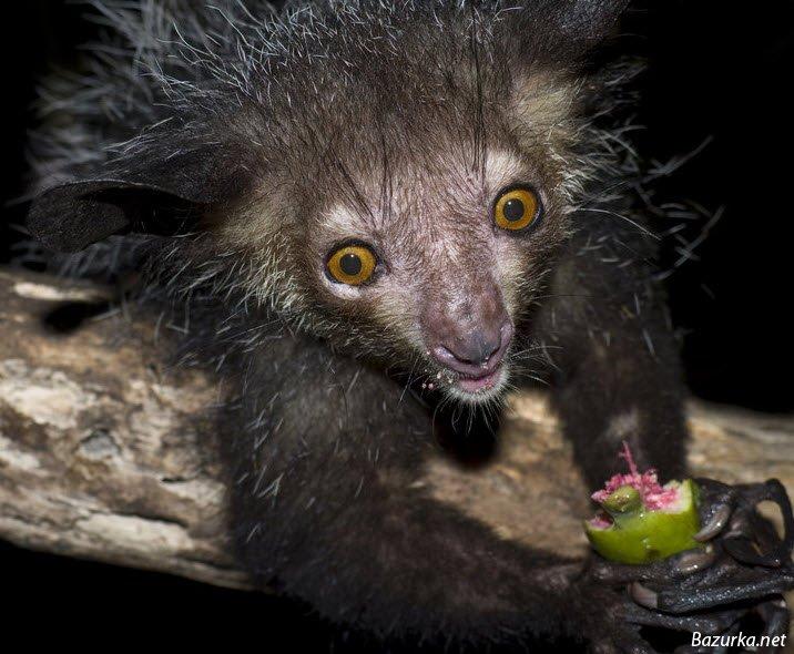 Aye Aye Lemur